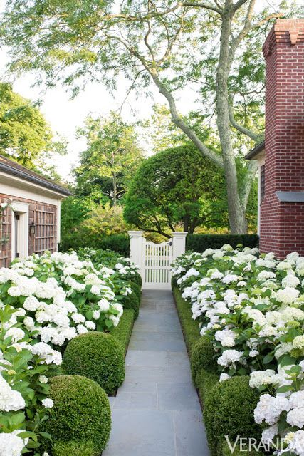 Love the boxwoods along path and green and white theme.  An allée of hydrangea and boxwood at Southampton Cottage, via Veranda. Photography by Max Kim-Bee.