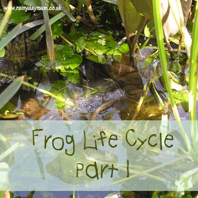 Learning about the frog life cycle with a book recommendation for Toddlers/pre-schoolers