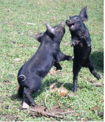 the endangered Large Black Pig