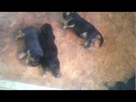 I cuccioli di Pastore Tedesco della splendida SOF - I Lupi dell'appennino