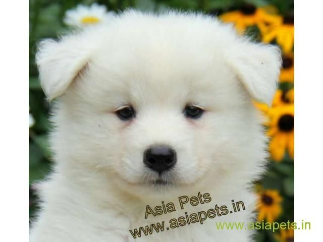 Samoyed Puppies Price In Guwahati Samoyed Puppies For Sale In Guwahati Samoyed Puppies For Sale Samoyed Puppy Samoyed
