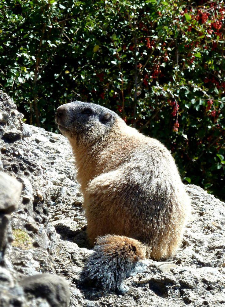 #marmotte