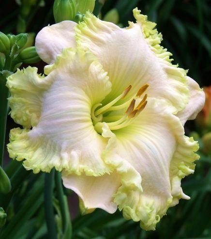 Photo of Daylily (Hemerocallis 'Fringy') uploaded by Ladylovingdove