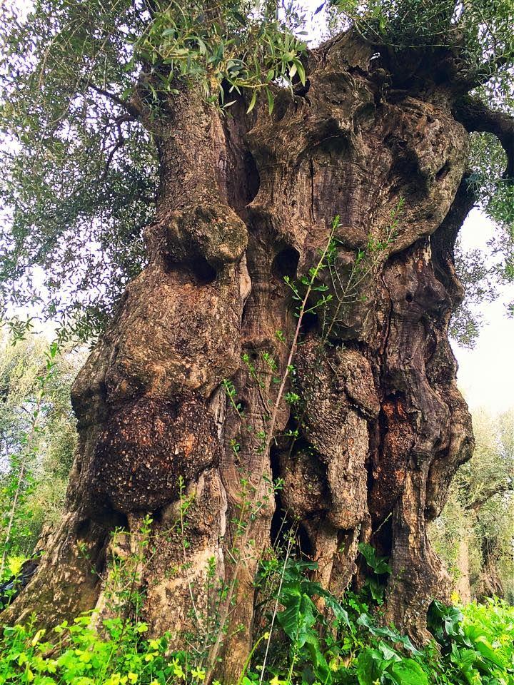 Maestoso tronco d'ulivo varietà Dolce di Rossano. Forgiato da secoli dagli agenti atmosferici si presenta fantasticamente intrecciato e contorto, un'esplosione vegetale di arte naturale.