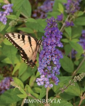 My Butterfly Bushes