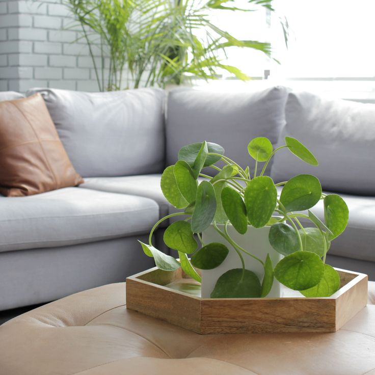 "Pilea Peperomioides, the ""Chinese money plant"" – Home – Nature, Rustic, Earthy!"