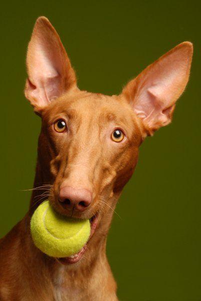 Pharaoh Hound Italian Greyhound Mix De 25+ bedste idé...