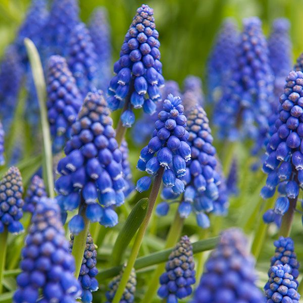 Muscari Armeniacum 'Grape Hyacinth'