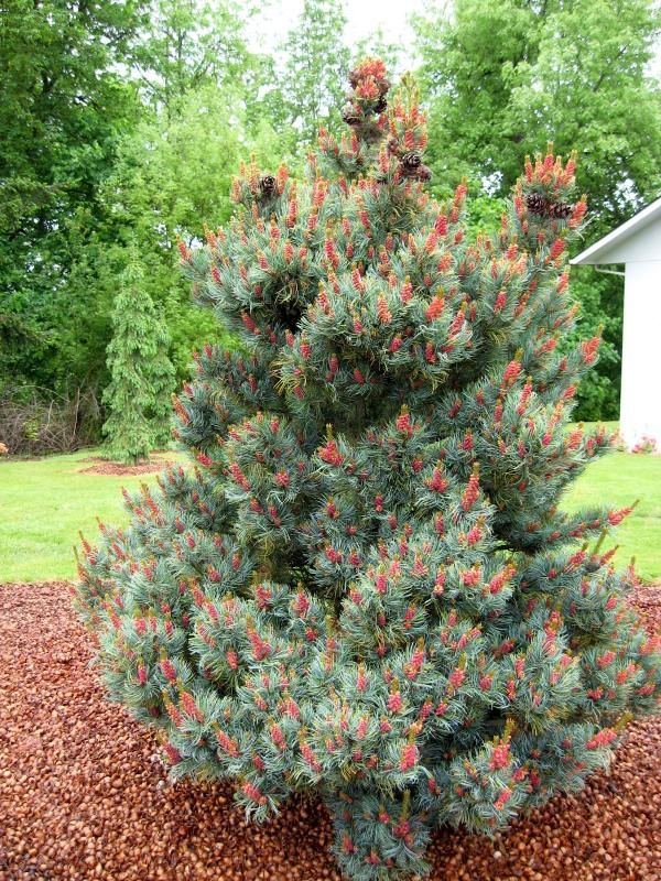"""Pinus parviflora 'Yatsabusa' An upright tree with an interesting branch structure. Beautiful blue needles and pink """"Flowers"""" in spring. Grows to approx 3M in 10 years."""