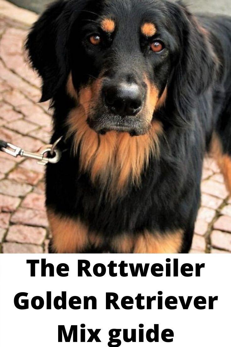 Rottweiler Golden Retriever Mix Labrottie Com In 2020 Rottweiler Mix Puppies Rottweiler Mix Retriever Mix