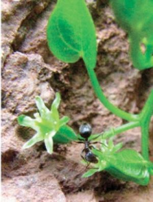 Maria Garcia and her team of researchers in a  2012 study published by PLOS ONE, provide evidence how rare cliffhanging plant species use unique reproductive strategies with the local ants. Two ant species act as the main pollinators for the plant while another ant species disperses the seeds.