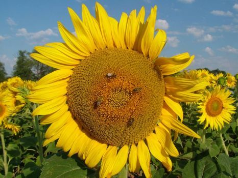 Sunflower (252 pieces)