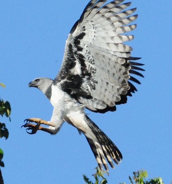 The Harpy Eagle has both the super powers of strength and size in the world of birds. Think of it as an enormous airborne assassin waiting to free fall from the sky, snatching you up by the skull with its massive talons. You should be safe, unless you live around the canopy of a tropical rain forest and look edible.