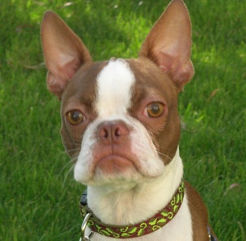 Home - Bulldog Breeds - the difference