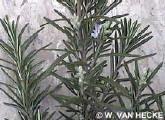 Rozemarijn kruid Rosemarinus officinalis gebruik kruiden rozemarijn