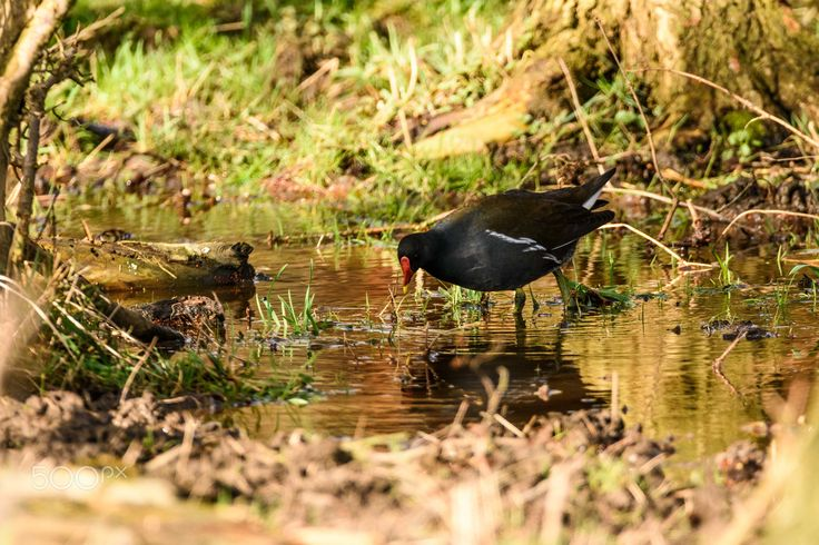moorhen - a common moorhen walking through a water puddle