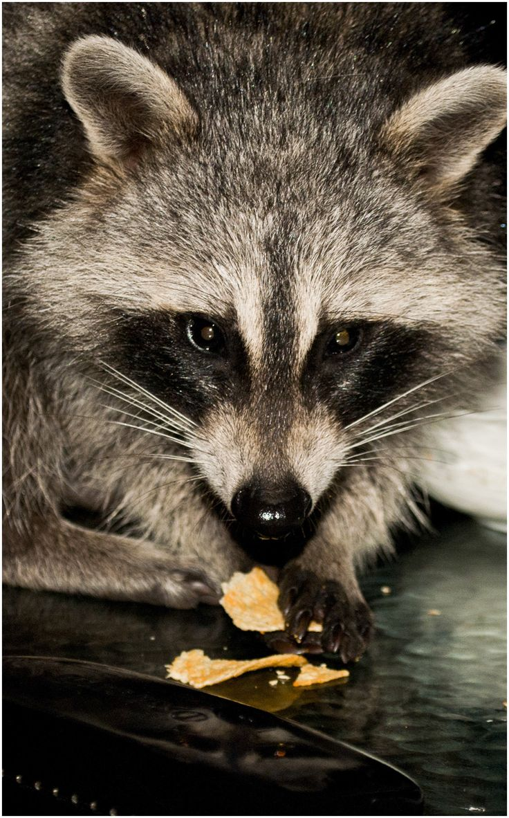 Raccoon came over for supper!