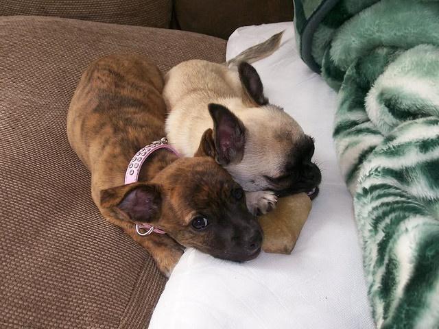 Dog on the left looks just like my Pugsley