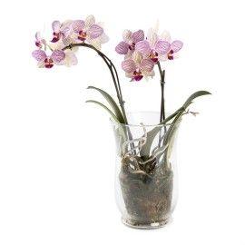 Midi 2 Spike Orchid
