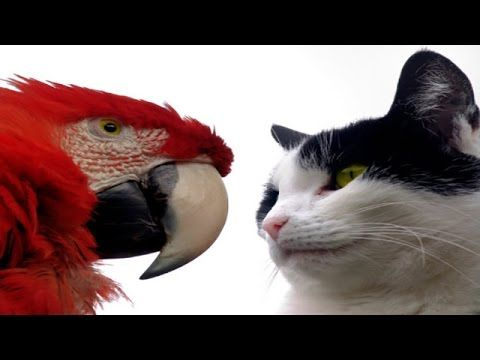 Funny Parrots Annoying Cats 2014 [NEW HD] - YouTube