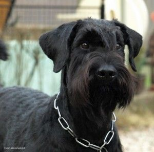 Schwarzer Riesenschnauzer. This page gives a wonderful portrait of the Riesenschnauzer (Giant Schnauzer).