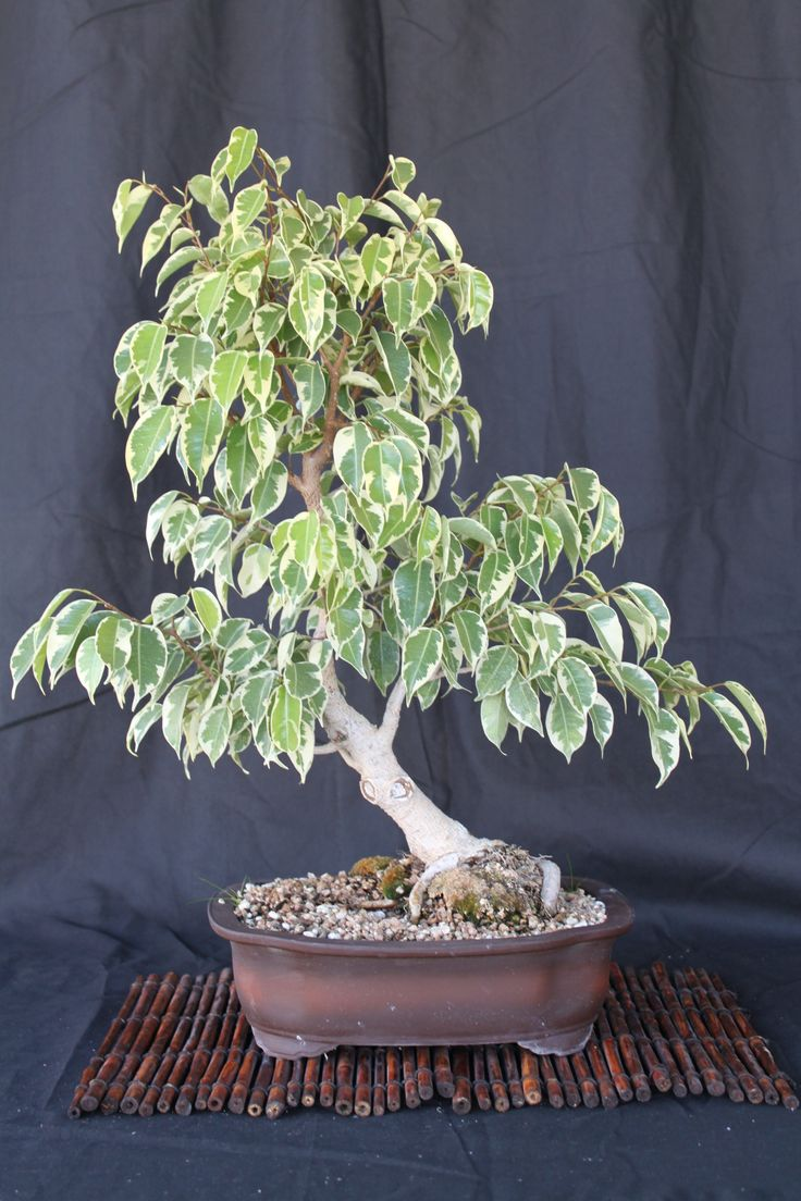 ficus benjamina by charles m tip top s ficus bonsai. Black Bedroom Furniture Sets. Home Design Ideas
