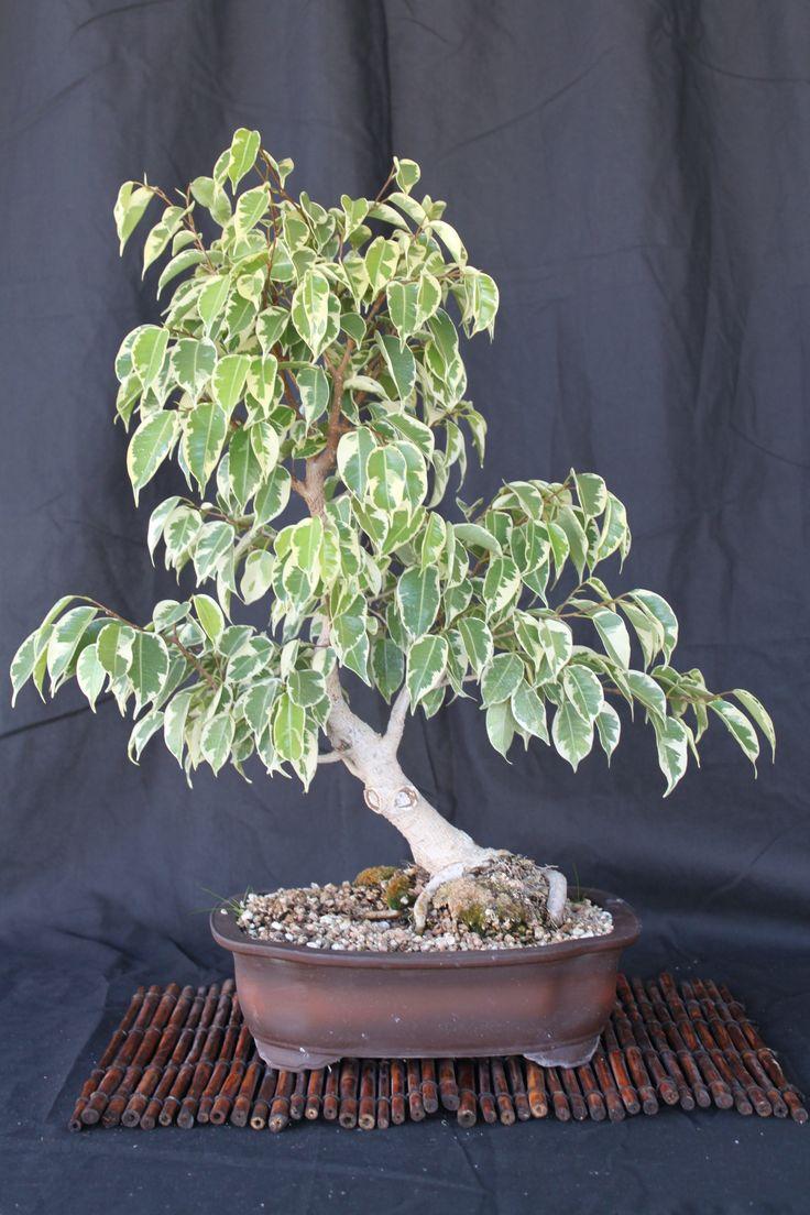 17 best ideas about bonsai ficus on pinterest bonsai bonsai forest and bonsai trees. Black Bedroom Furniture Sets. Home Design Ideas