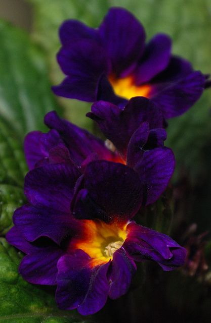 """Primula auricula 'Double Purple' ~ """"Easy to grow, lengthy flowering period. Stunning double purple flowers in spring. Primulas prefer a well drained soil, making them suitable for rockeries and pots. Frost hardy. Grows in full sun to part shade. Grows 20cm high x 40cm wide."""""""