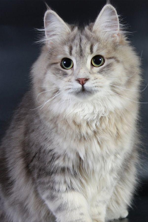 Top 7 Hypoallergenic Cat Breeds For Pet Allergies Hypoallergenic Cats Cat Breeds Hypoallergenic Cat Breeds