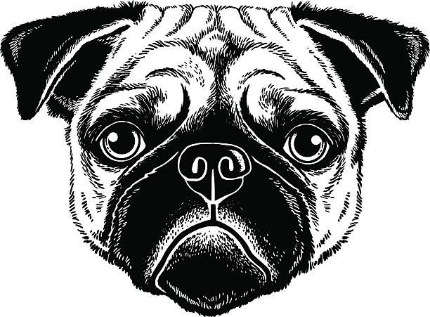 Black And White Vector Sketch Of A Fawn Pug S Face Fawn Pug