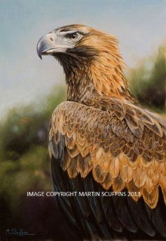 portrait of a young female Wedge-tailed Eagle, arguably Australia's most distinctive and striking bird of prey.