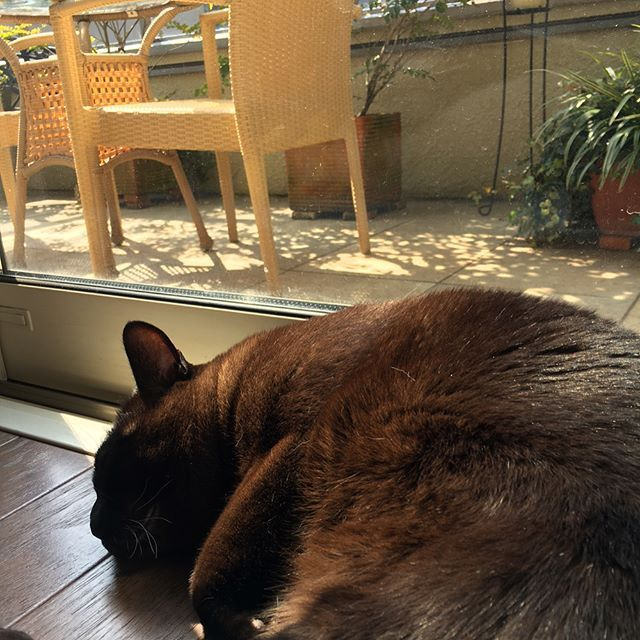 日向ぼっこから起き上がる  大きな背中 w.  #バーミーズ#愛猫#セーブル色#日向ぼっこ