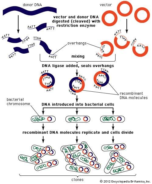genetic engineering: recombinant DNA [Credit: Encyclopædia Britannica, Inc.]