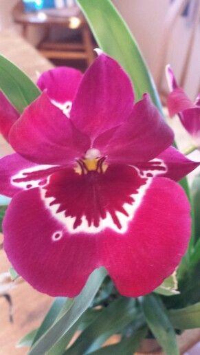 Miltoniopsis Lennart Karl Gottling Pansy Orchid