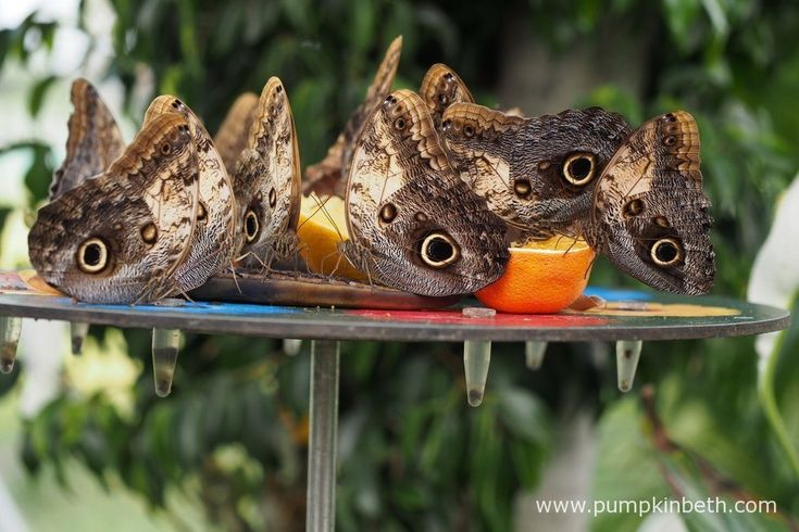 Exotic butterflies in the Butterfly Dome, at the RHS Hampton Court Palace Flower Show 2017 - Pumpkin Beth