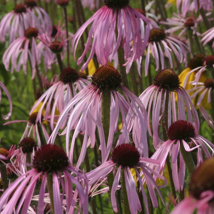 59 best images about echinacea pallida on pinterest gardens hula dancers and valley nursery. Black Bedroom Furniture Sets. Home Design Ideas