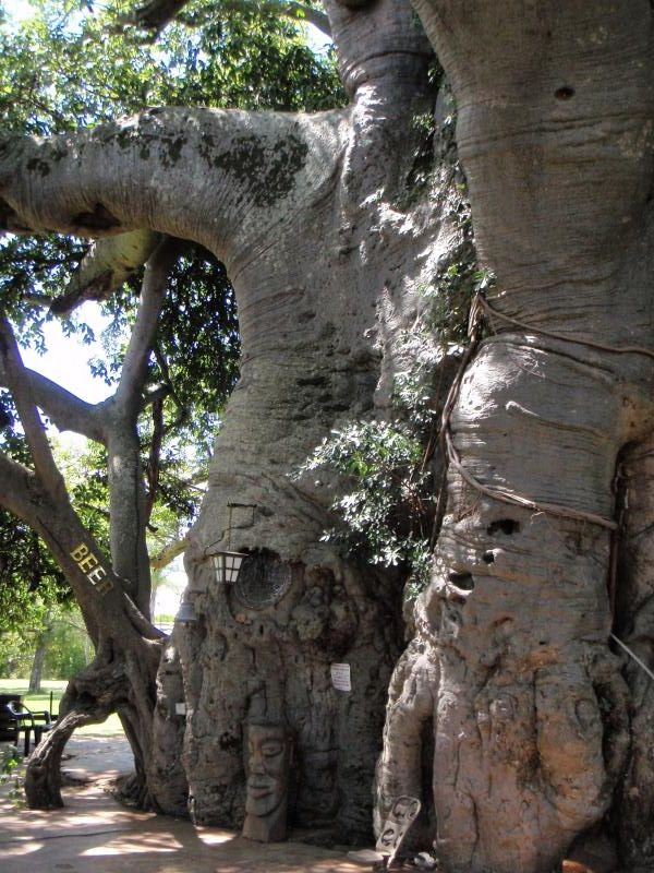 Pub in a Baobab, Largest Baobab in the world, Bar entrance, Louis Trichard - Limpopo
