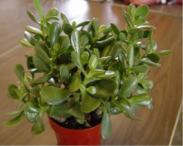 Jade plants. I was looking for boxwoods, but they don't do well in doors and jade plants are so low maintenance.