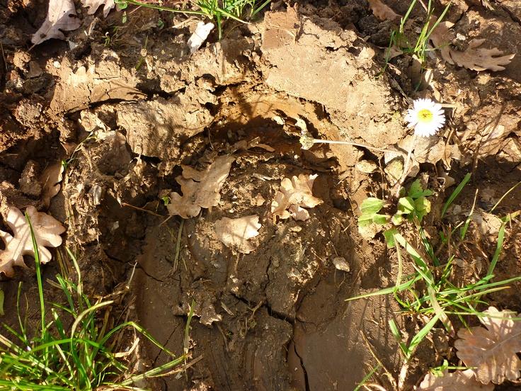 Impronta di cavallo con margheritina. Questo è uno dei tanti sentieri da percorrere a piedi o a cavallo fra Montemerano e Saturnia.