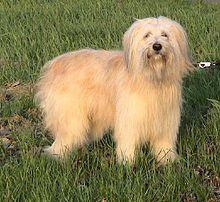 Schafpudel - German Sheeppoodle