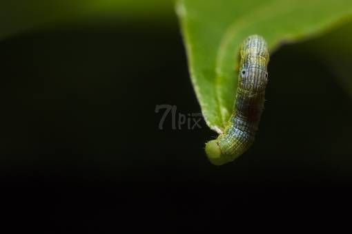 Butterfly Larva by shadpix71 on 71pix.com