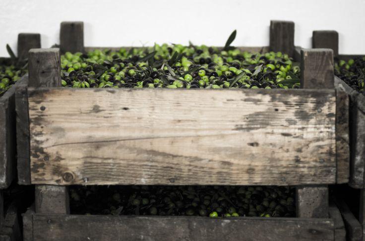 Olive harvest #Laudemio #EVOO #olive #oliveoil #Tuscany