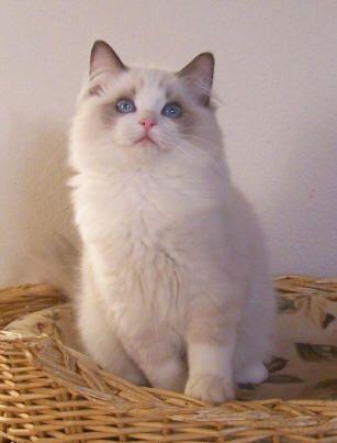 Ragdoll Cats Ragdoll Kittens by Rock Creek Ranch Ragdoll Cattery - Ragdoll Cats Ragdoll Kittens Past Kittens