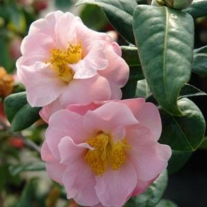 17 Best Images About Landscape Trees Shrubs Specimens On Pinterest Gardens Spring And Pansies