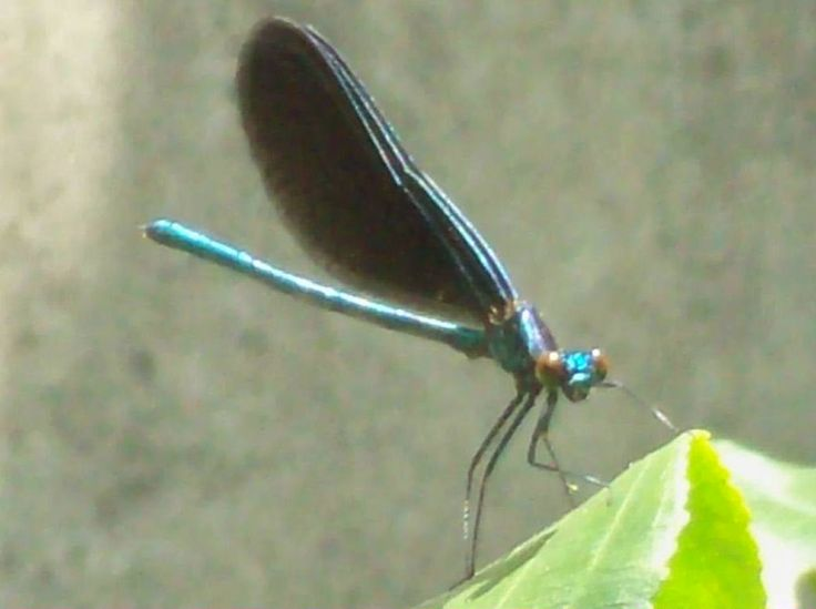 Ebony Jewelwing Damselfly at Quinte Conservation Quinte West ont.