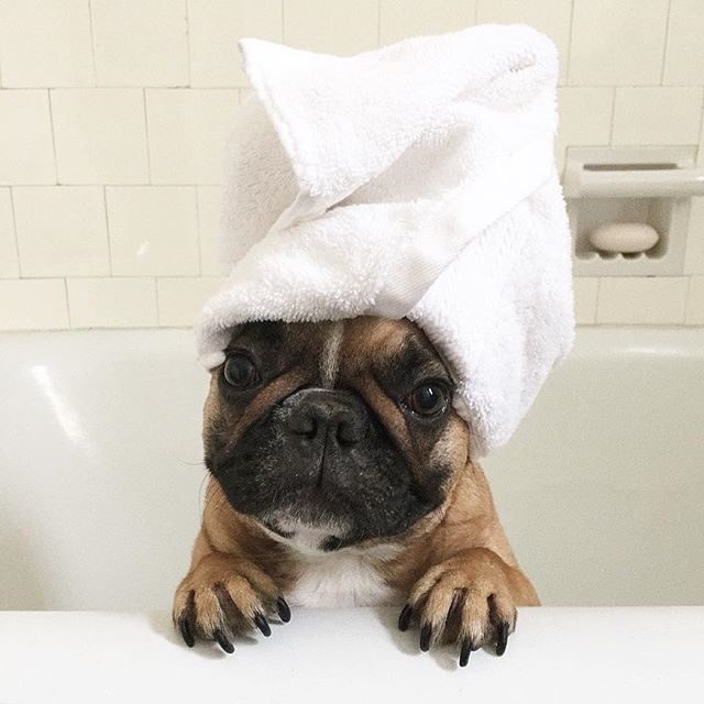 """I just got my hair done""...""and NOW a bath?""...""what's a Girl to do?"", French Bulldog Puppy with Spoiled Girl Problems, @comet_and_scooter"