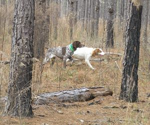 30 Best Field Trials And Bird Dogs Images On Pinterest