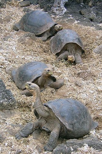 Giant tortoise (Geochelone elephantophus) - Galapagos.....can weigh up to 500 lbs.