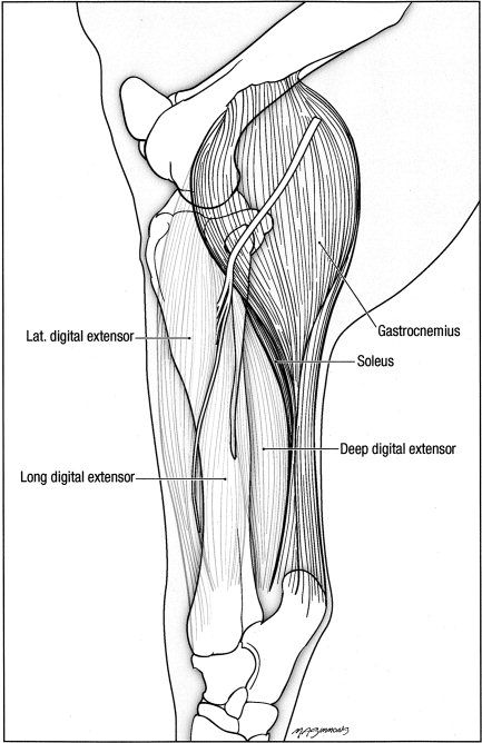 "Figure 1: Gross structure of the soleus muscle in a left lateral view. The soleus muscle is rather diminutive compared alongside the gastrocnemius muscle complex. In this view, the knee or ""stifle"" is near the top and the ankle or ""hock"" is near the bottom. The large gastrocnemius muscle attaches proximally (top) along the femur and attaches distally on the calcaneus. The soleus originates along the lateral fibular head region and becomes attached along the distal, deep surface of the…"