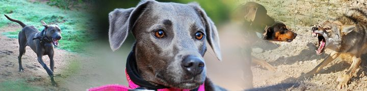 State dog of Texas the Blue Lacy doing what they do, they are astoundingly brave and loyal dogs!